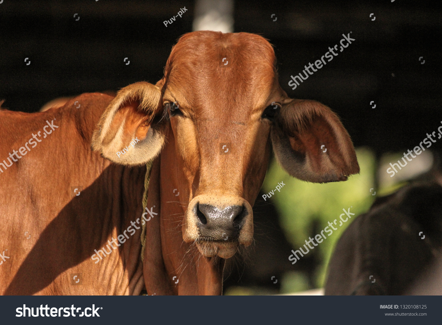 Zebu Cattle Young Indian Bull Sahiwal Stock Photo (Edit Now