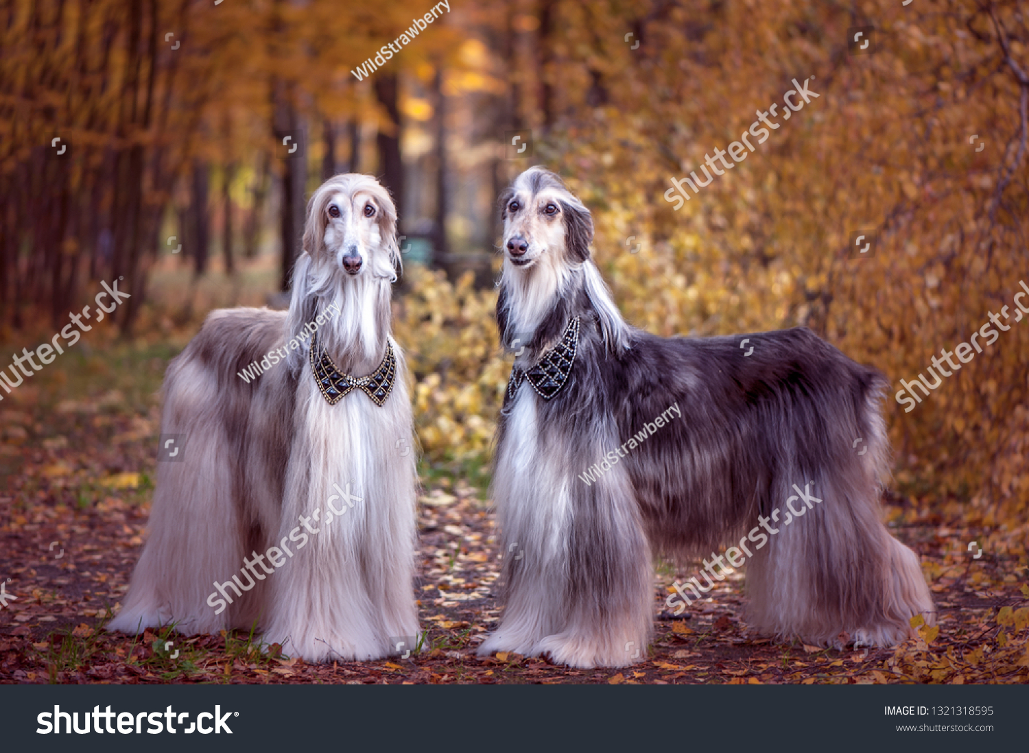 Two magnificent Afghan hounds, similar to medieval lords, with hairstyles and collars. Stylish, gorgeous dogs on the background of the autumn mystical forest #1321318595