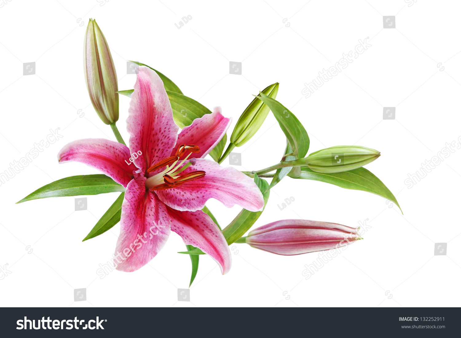 Lily Flower Stamens Intact Isolated On Stock Photo Royalty Free