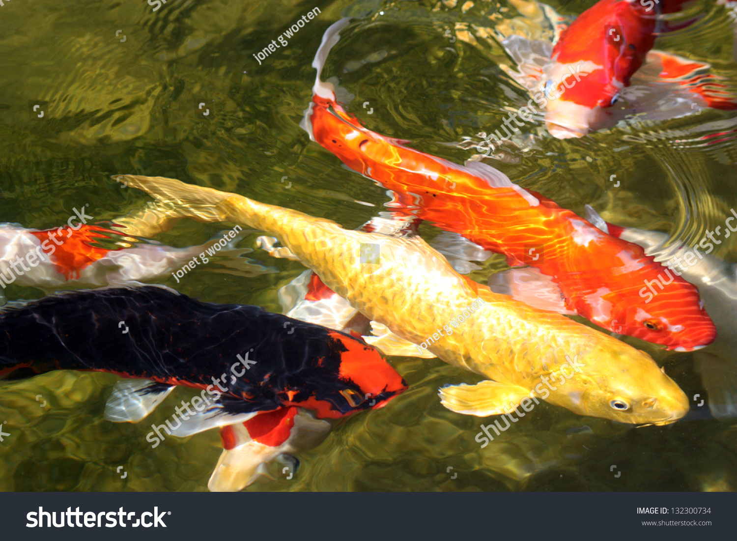4 koi fish on surface multicolored stock photo 132300734 for Surface fish ponds