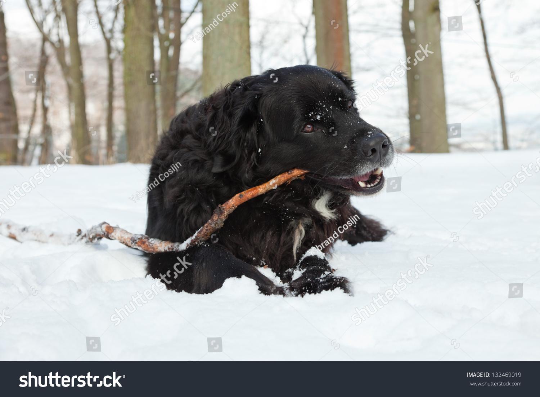 berner sennen labrador