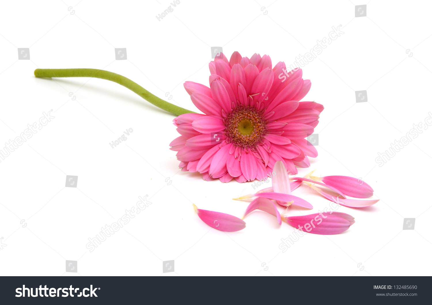 Gerbera Daisy Flower Petals On White Stock Photo Edit Now