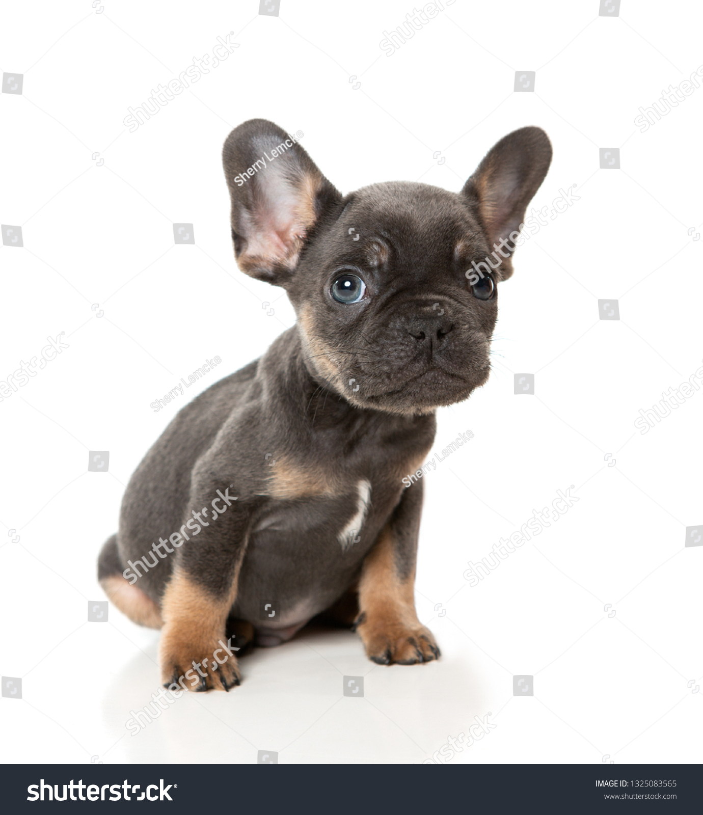 Single Dark Brown French Bulldog Puppy Stock Photo Edit Now 1325083565