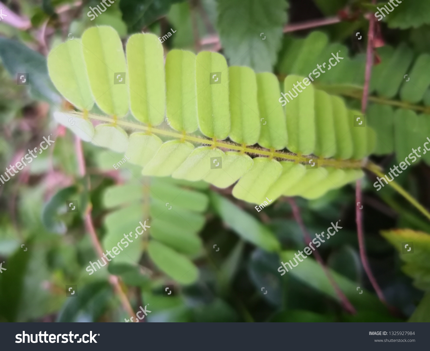 Abrus Precatorius Leaves Stock Photo Edit Now 1325927984