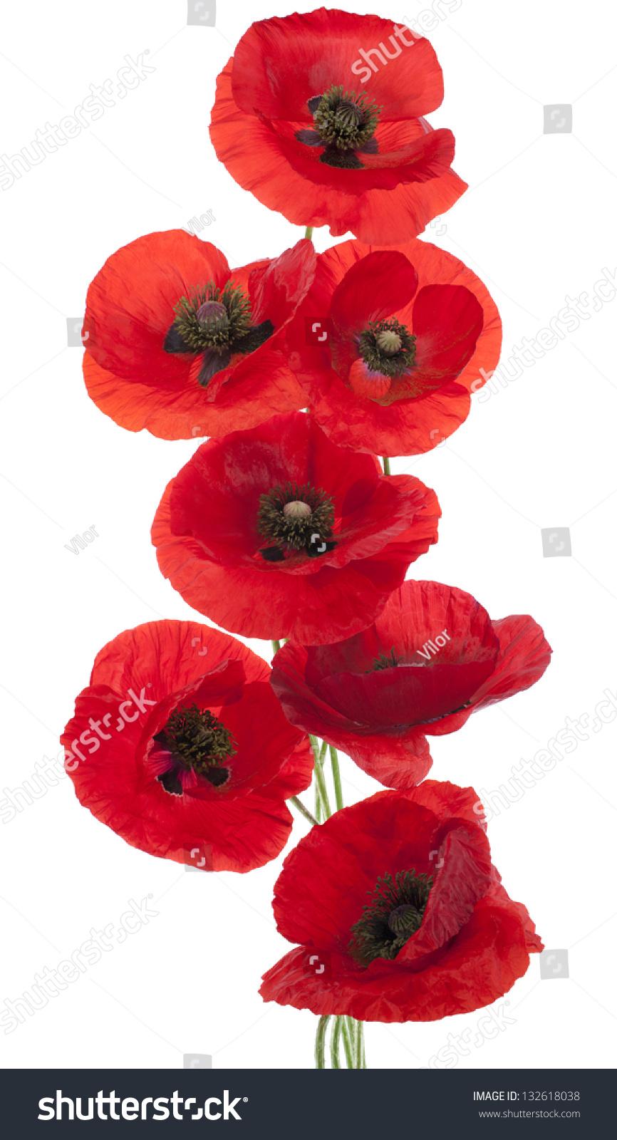 Studio Shot Red Colored Poppy Flowers Stock Photo ...