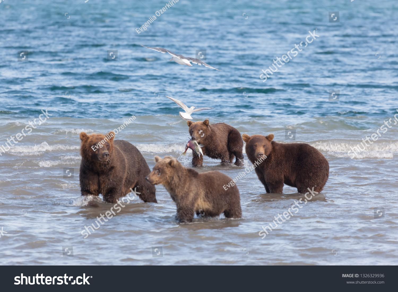 stock-photo-group-of-brown-wild-bears-fi