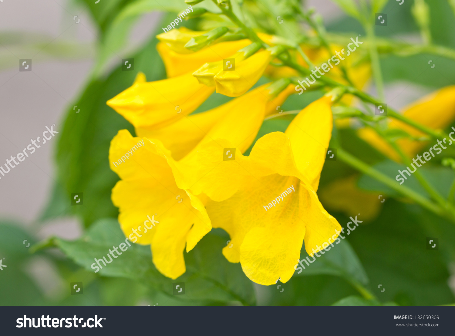 Yellow Elder Yellow Bells Trumpet Vine Stock Photo