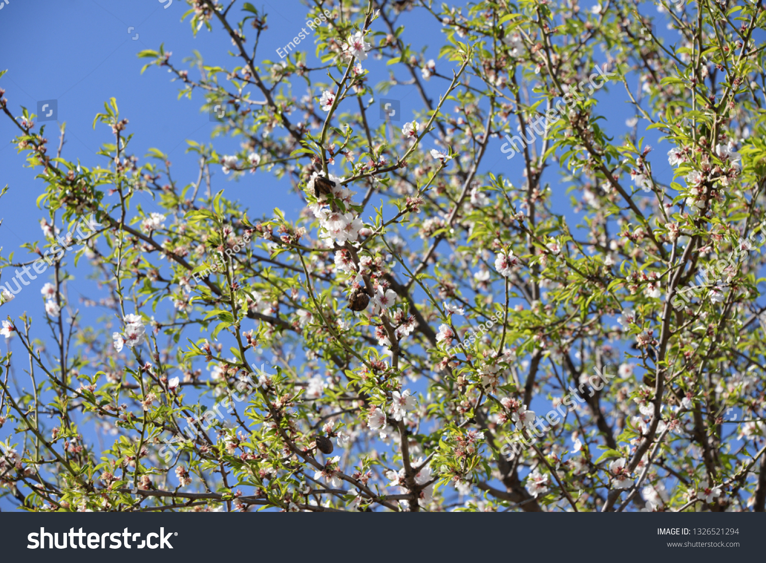 Blossoms on almond tree, Costa Blanca, Spain #1326521294