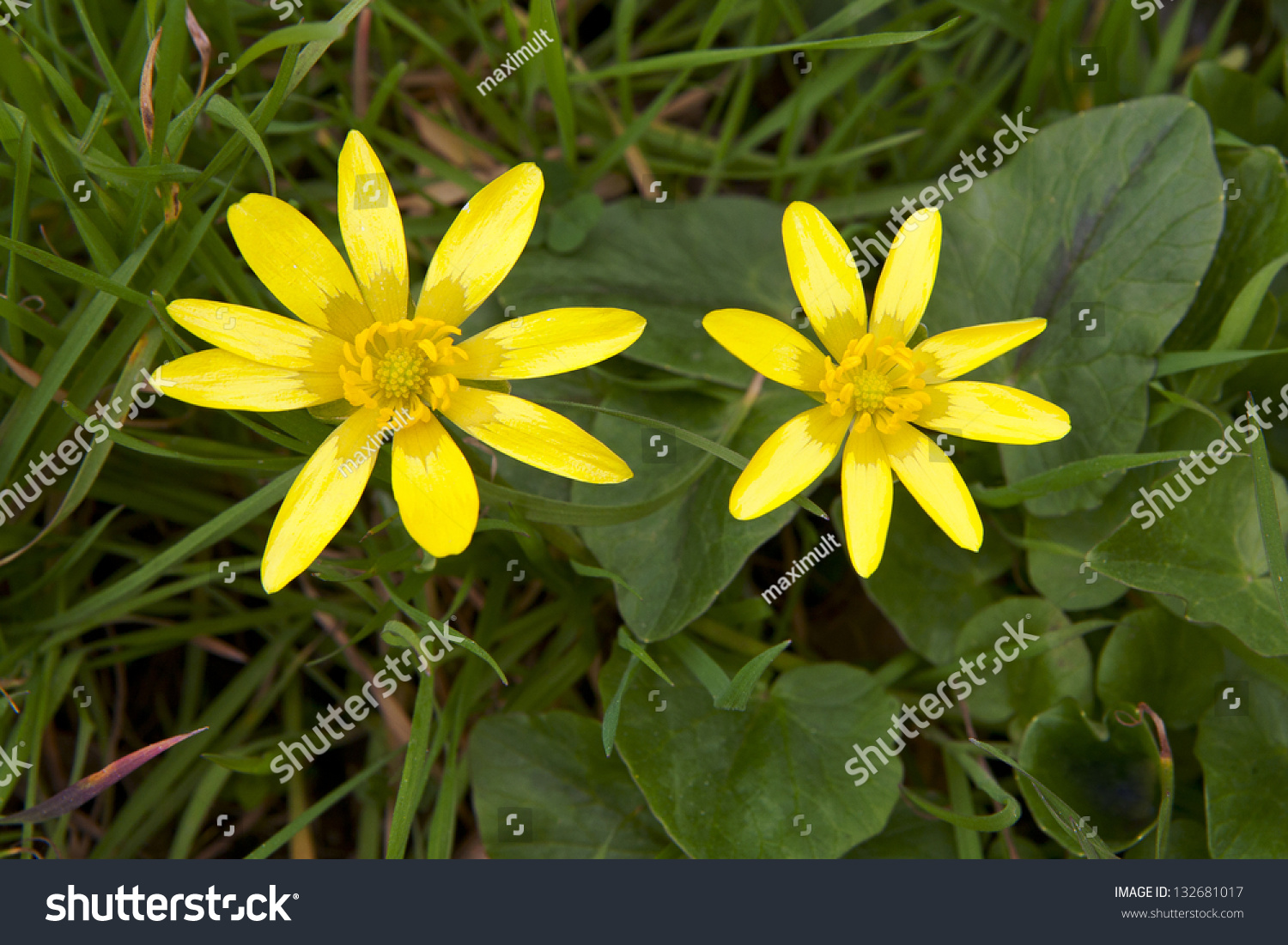 Wetland Yellow Wild Flowers Bloom Spring Stock Photo Royalty Free