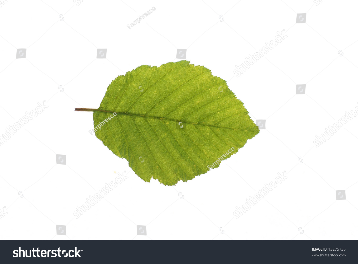 Witch Hazel Leaf Isolated On White Stock Photo 13275736 - Shutterstock