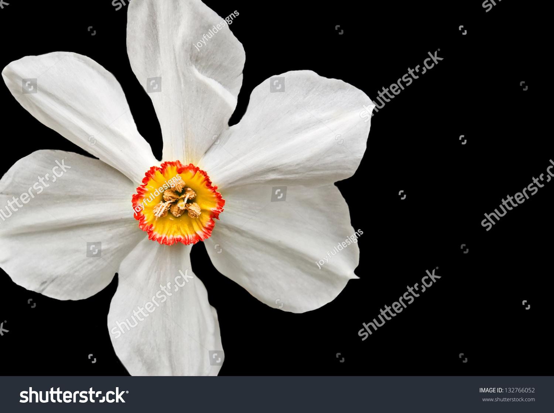 this closeup white daffodil flower yellow stock photo 132766052
