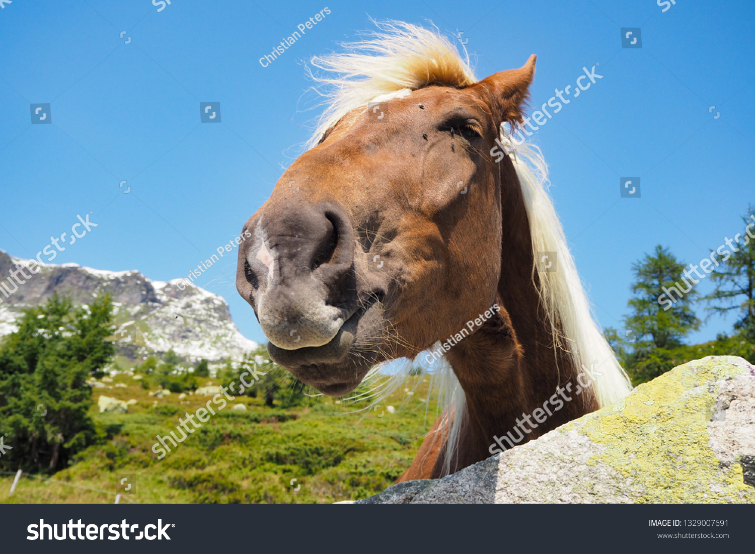 Funny Looking Haflinger Horse Alp East Stock Photo Edit Now 1329007691