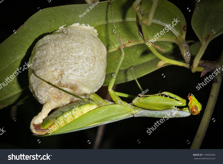Praying Mantis Creates Her Egg Sac Stock Photo Edit Now 133002050