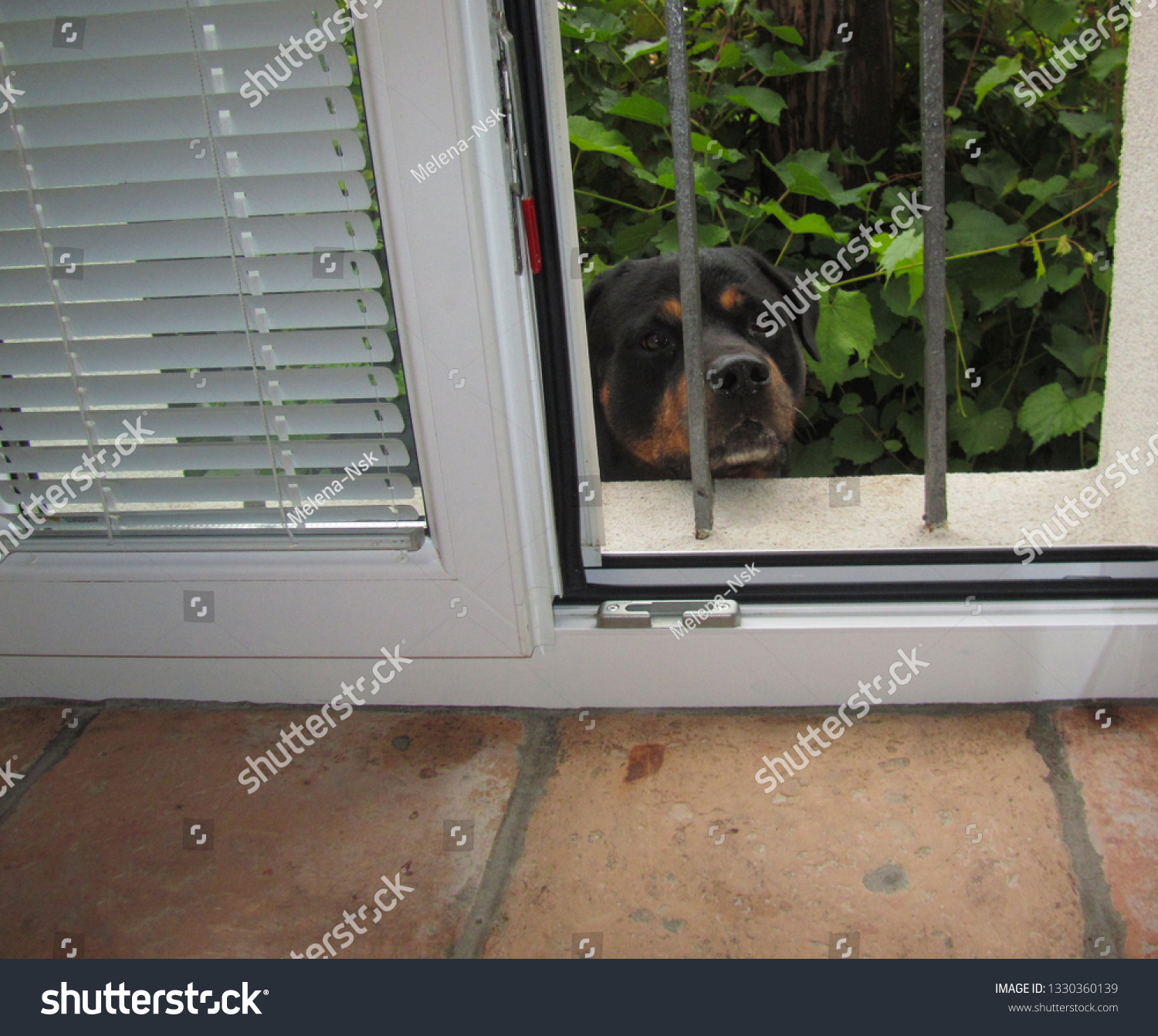 A sad eyed rottweiler dog peeks out of a garden window through the bars