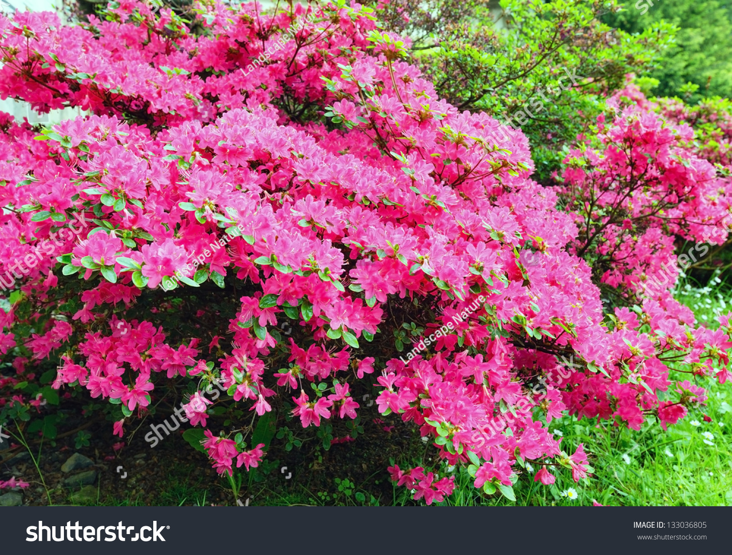 Blossoming Rhododendron Bush Pink Flowers Closeup Stock Photo