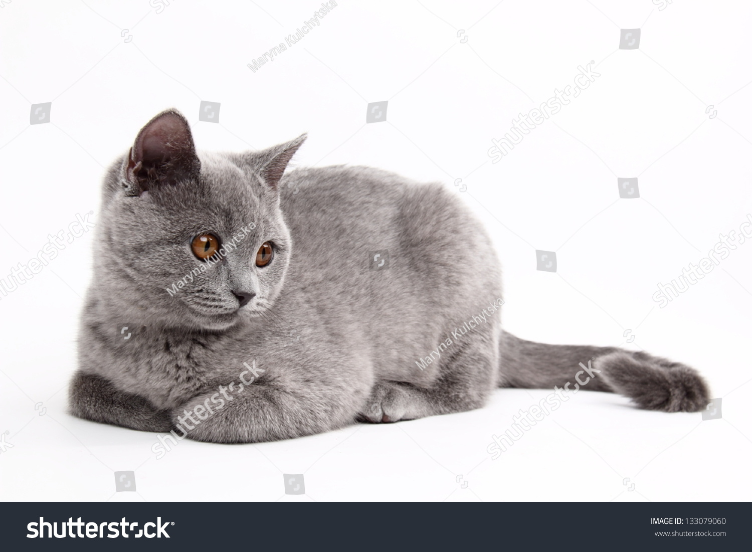 Cute Playful Cat British Breed Straight Stock