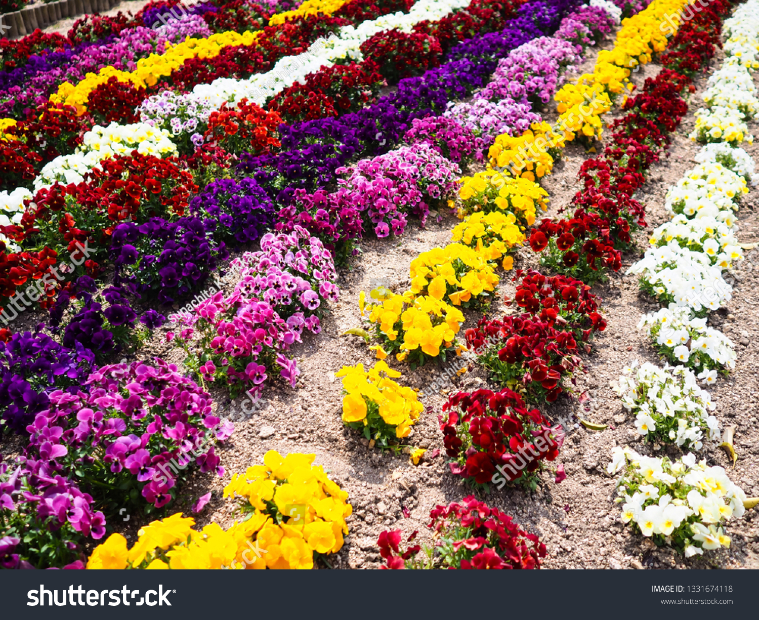 Colorful Petunia Flower Bed Decoration Japanese Stock Photo Edit Now 1331674118