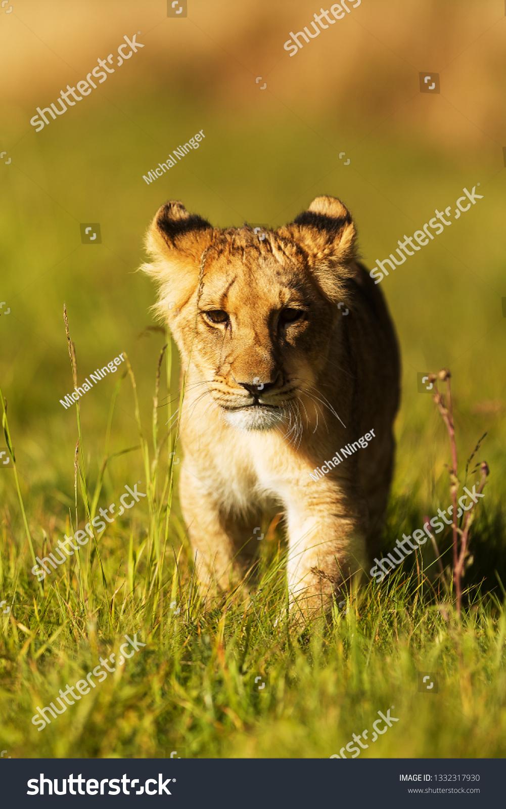 young lioness (Panthera leo) close up portrait