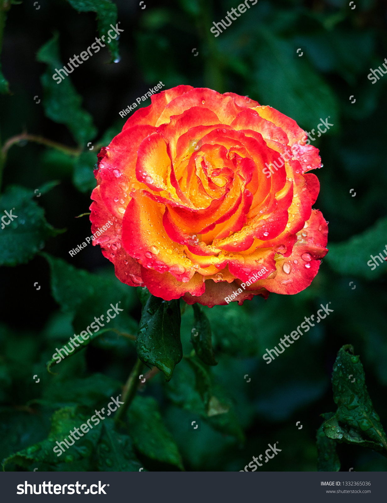 Bright Yellow Red Dew On Leaves Nature Stock Image 1332365036
