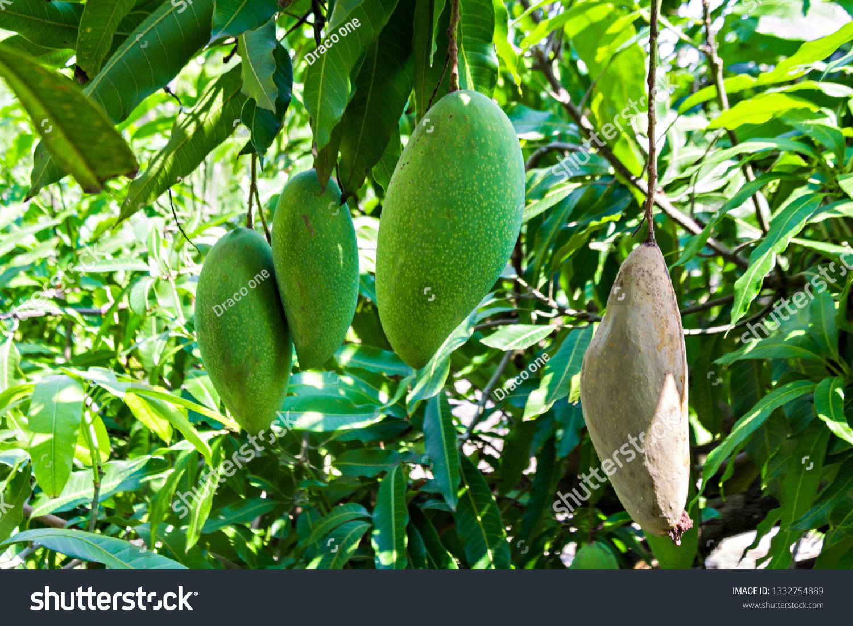 Come Piantare Il Mango foto stock 1332754889 a tema mango thai species that species