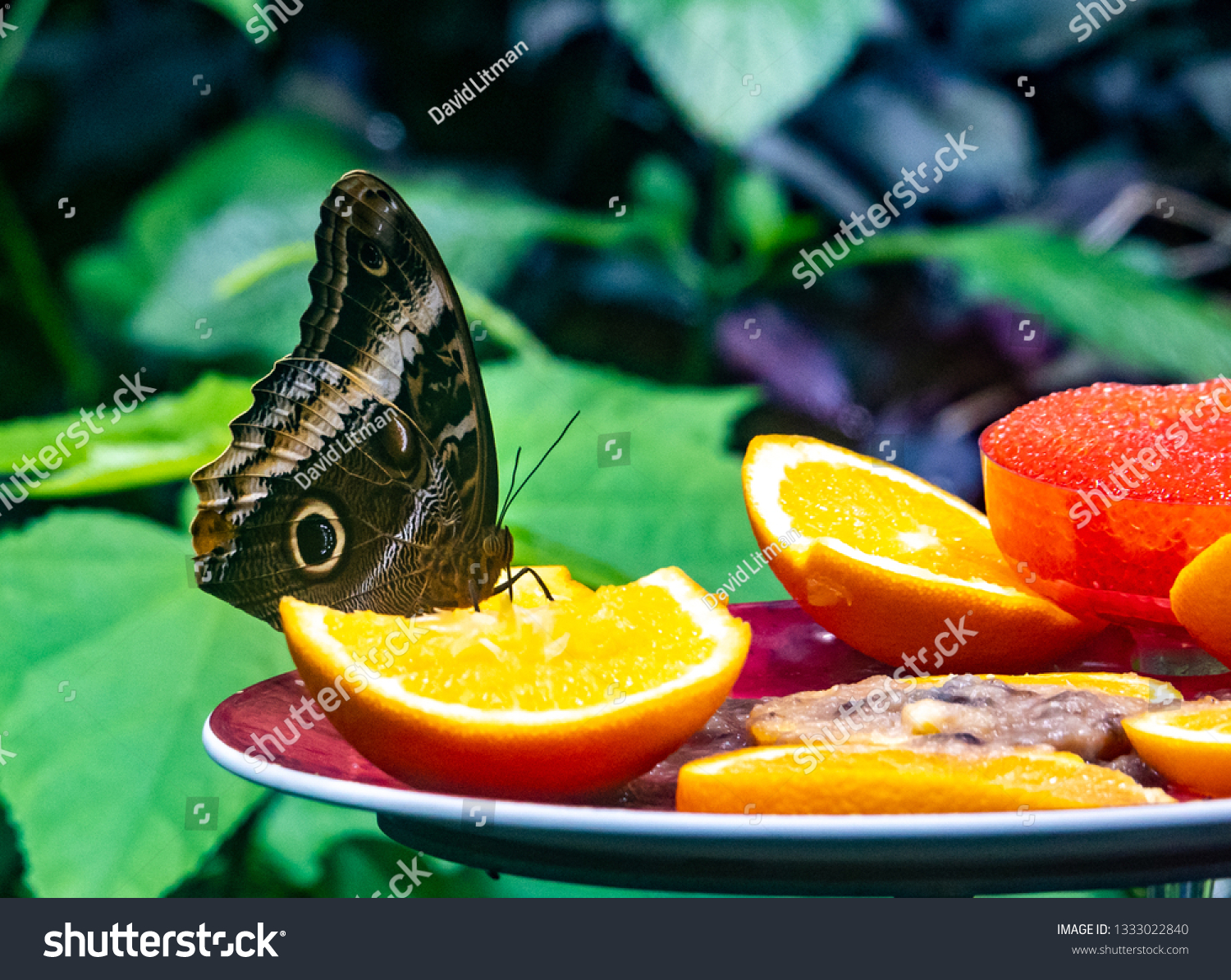 An Owl Butterfly (Caligo eurilochus brasiliensis)  feeds on a plate of cut fruit, at the California Academy of Sciences, in Golden Gate Park of San Francisco.