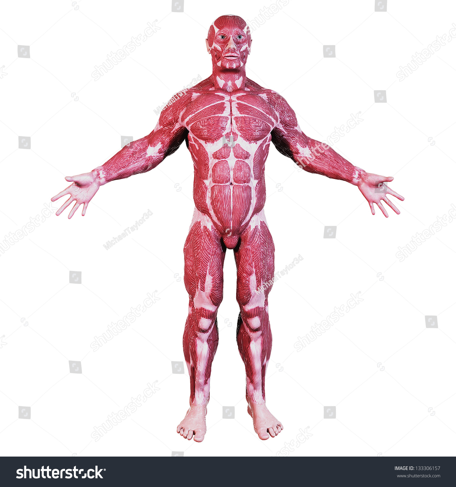 Human Muscular Anatomy Stock Illustration 133306157 Shutterstock