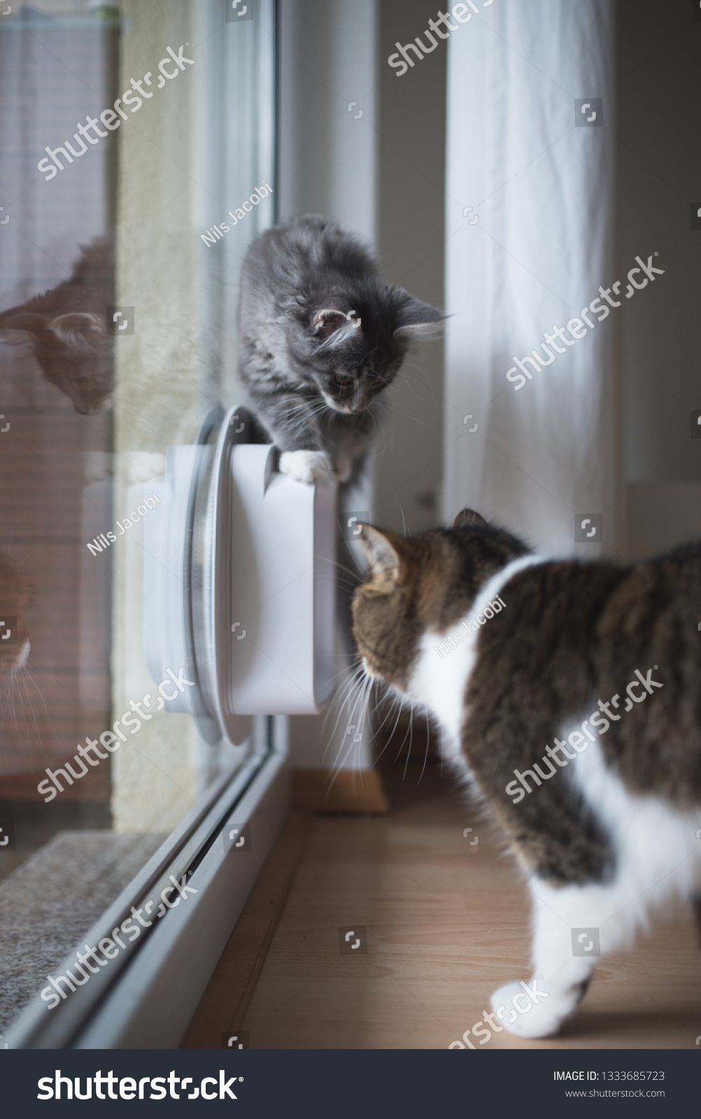 Blue Tabby Maine Coon Kitten Standing Stock Photo Edit Now 1333685723