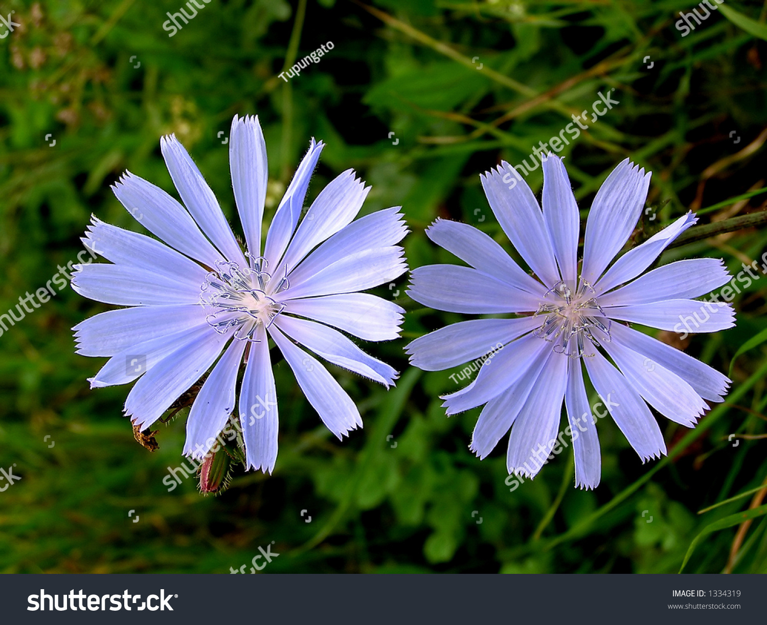 Beautiful Twin Flowers Natural Beauty Stock Photo Edit Now 1334319