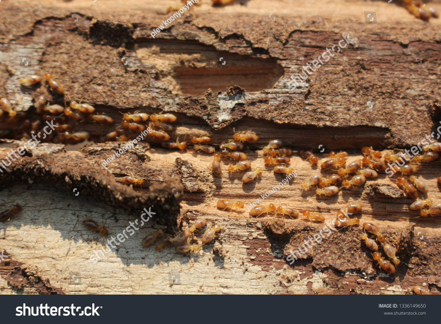 Termites are eating the wood of the house. They destroy houses, wooden parts and destroy wood products. #1336149650
