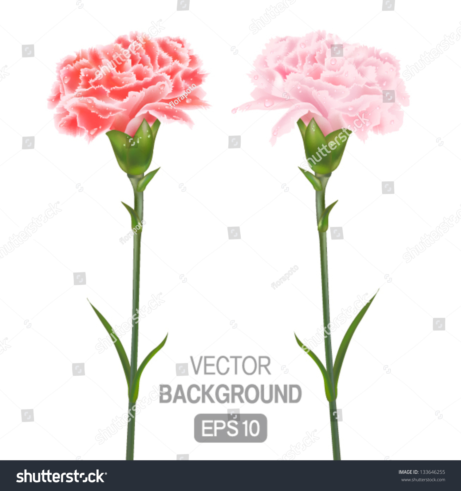 Two Flowers On White Background Carnations Stock Vector 133646255