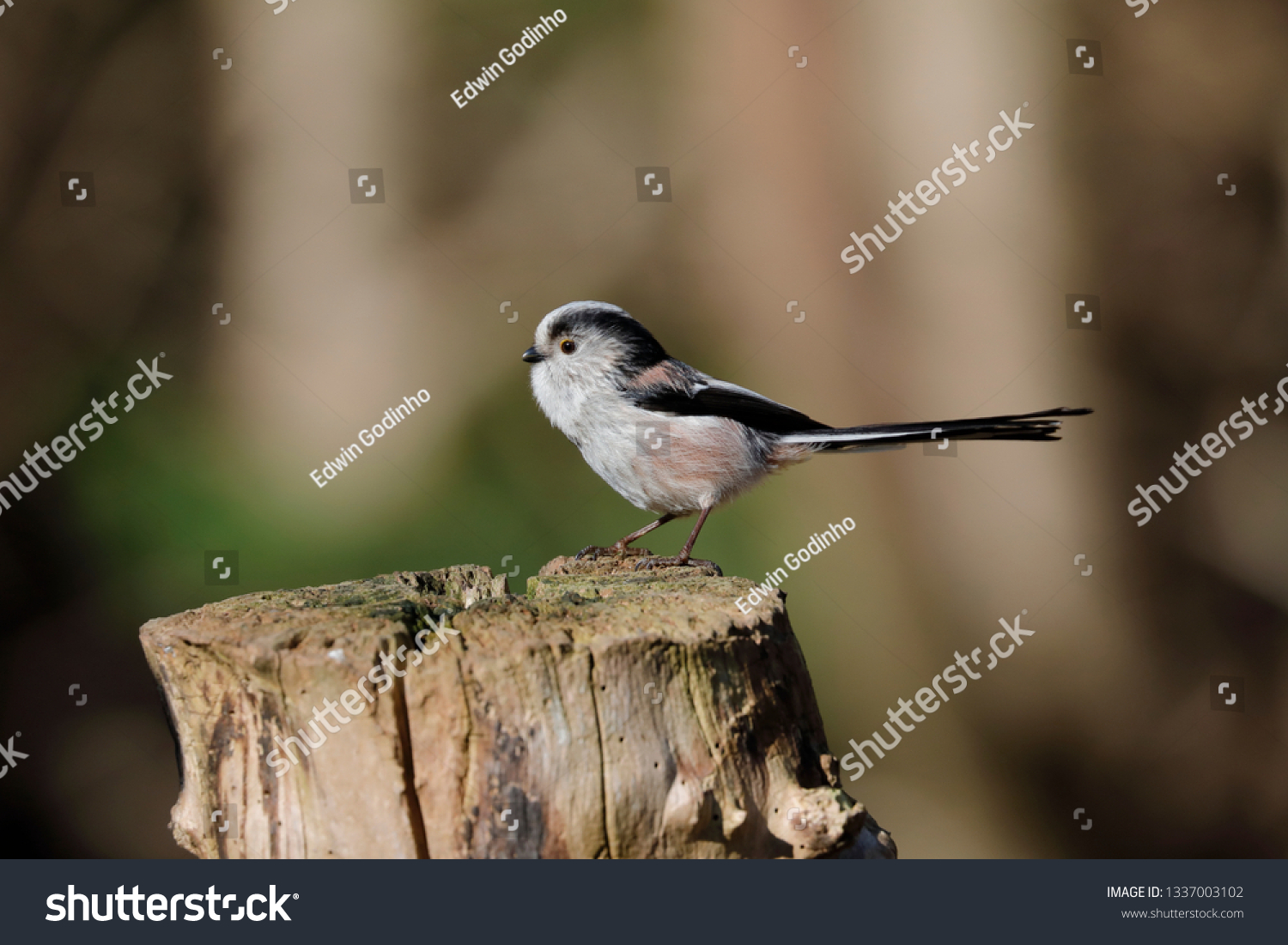 A long-tailed tit on a post #1337003102