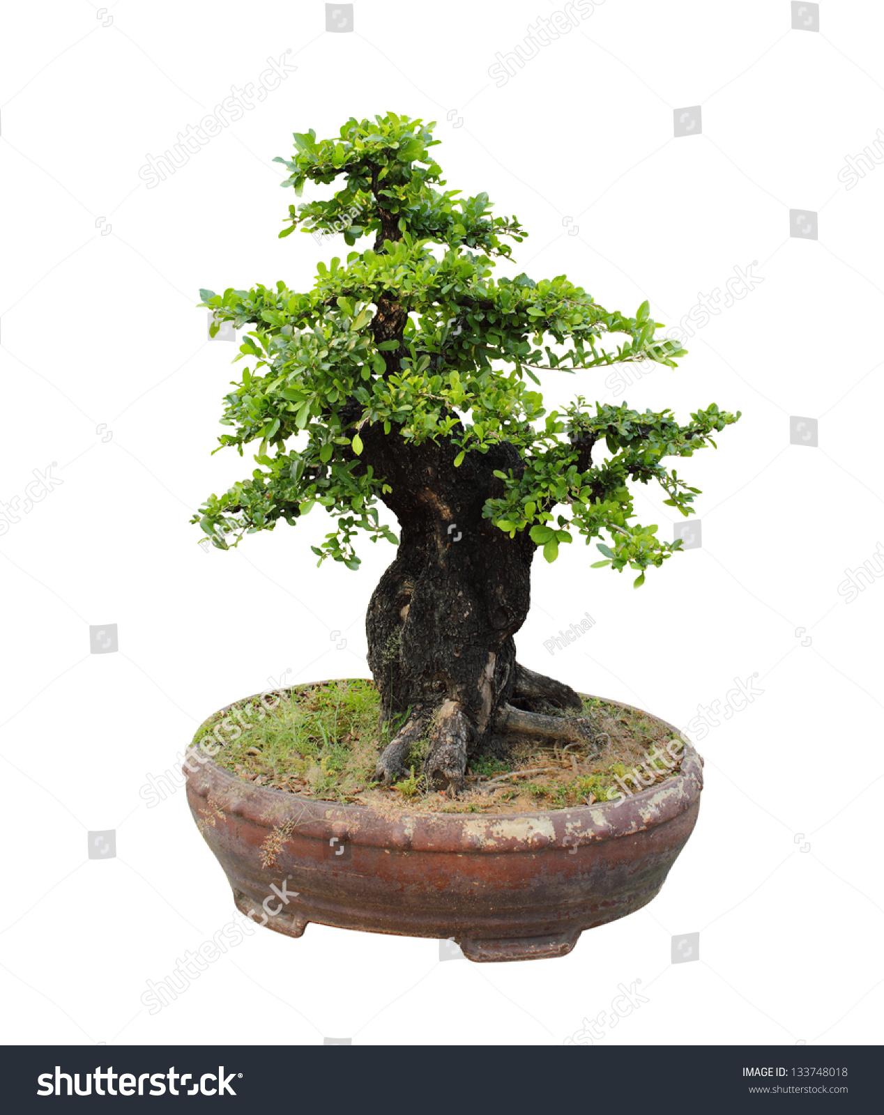 Bonsai Tree White Background Stock Photo Edit Now 133748018