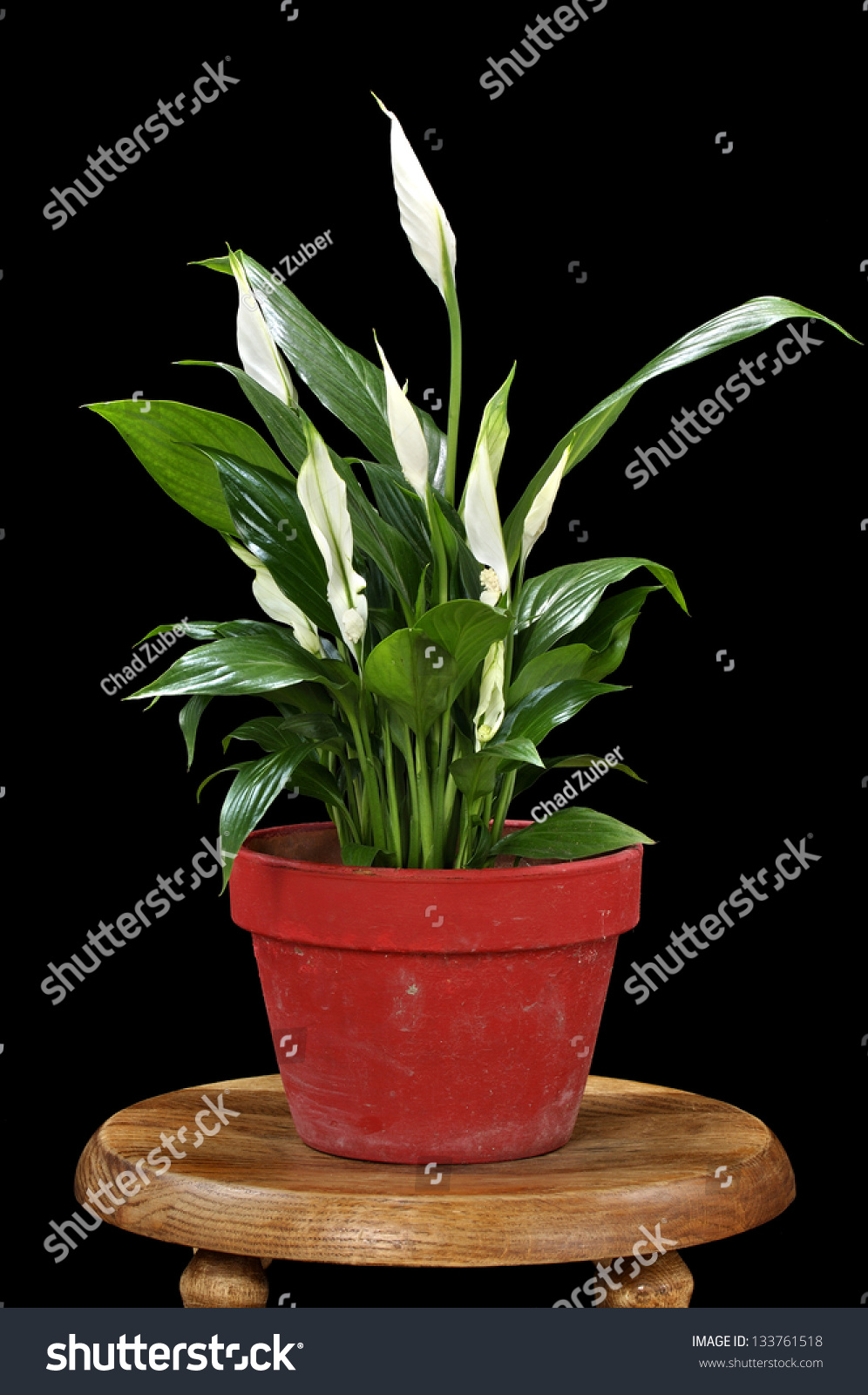Beautiful Spathiphyllum Peace Lily Blooming Red Stock Photo Edit