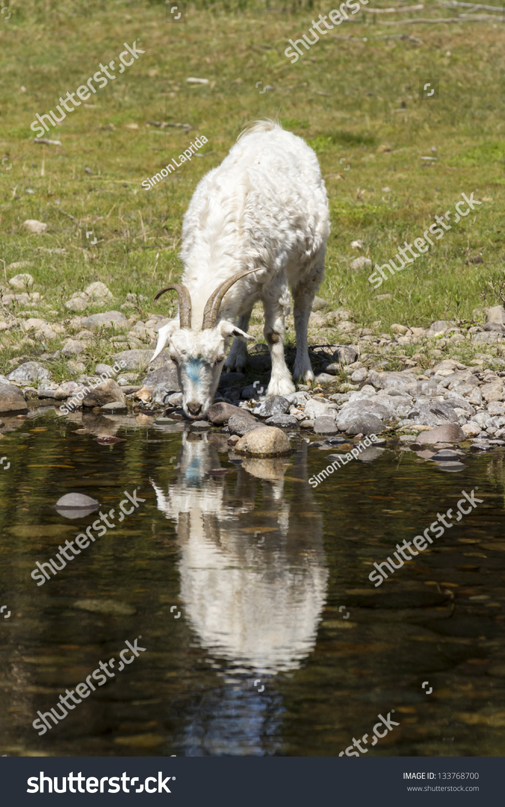 goat drinking water river reflection stock photo edit now