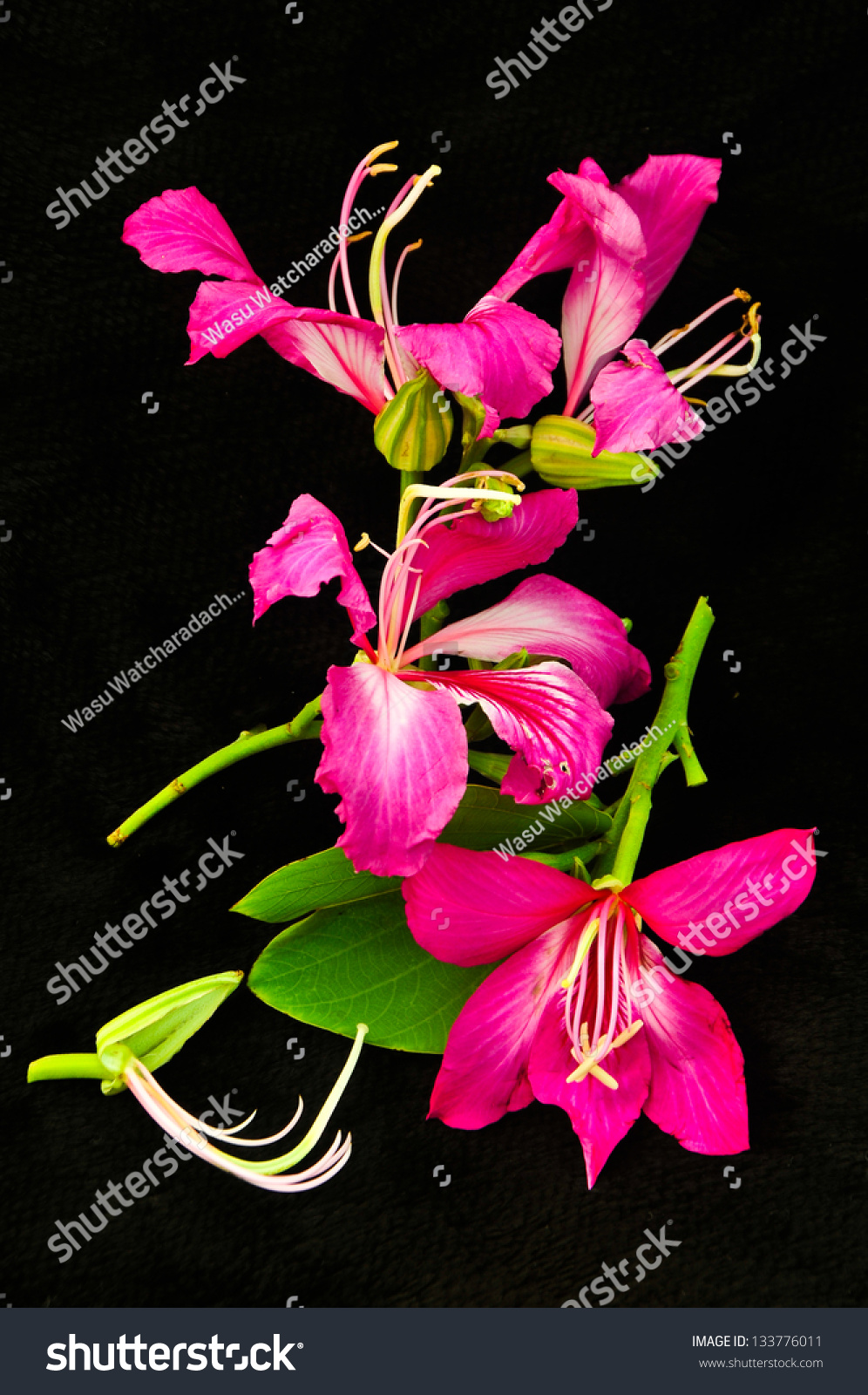 Beautiful Pink Flower On Black Background Stock Photo Edit Now