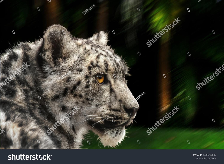 stock-photo-snow-leopard-looking-back-la