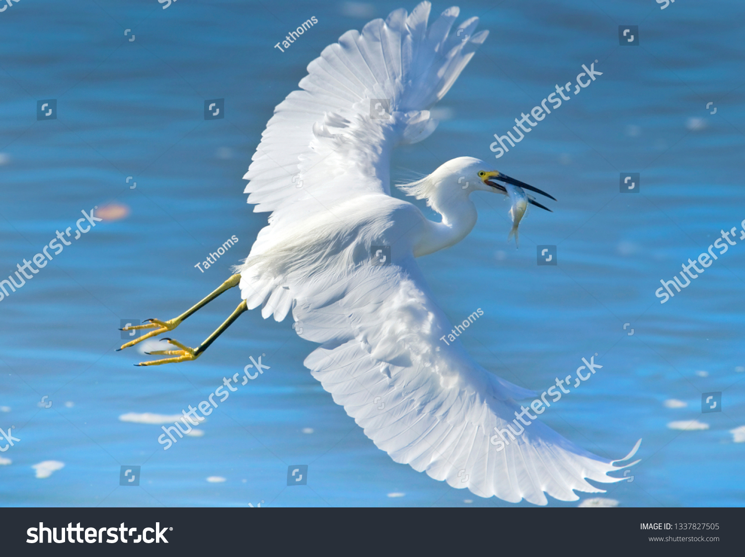 stock-photo-snowy-egret-in-action-with-c