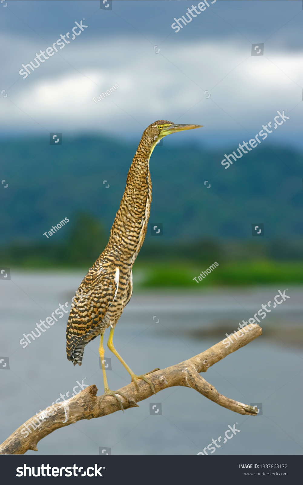 stock-photo-bare-throated-tiger-heron-in