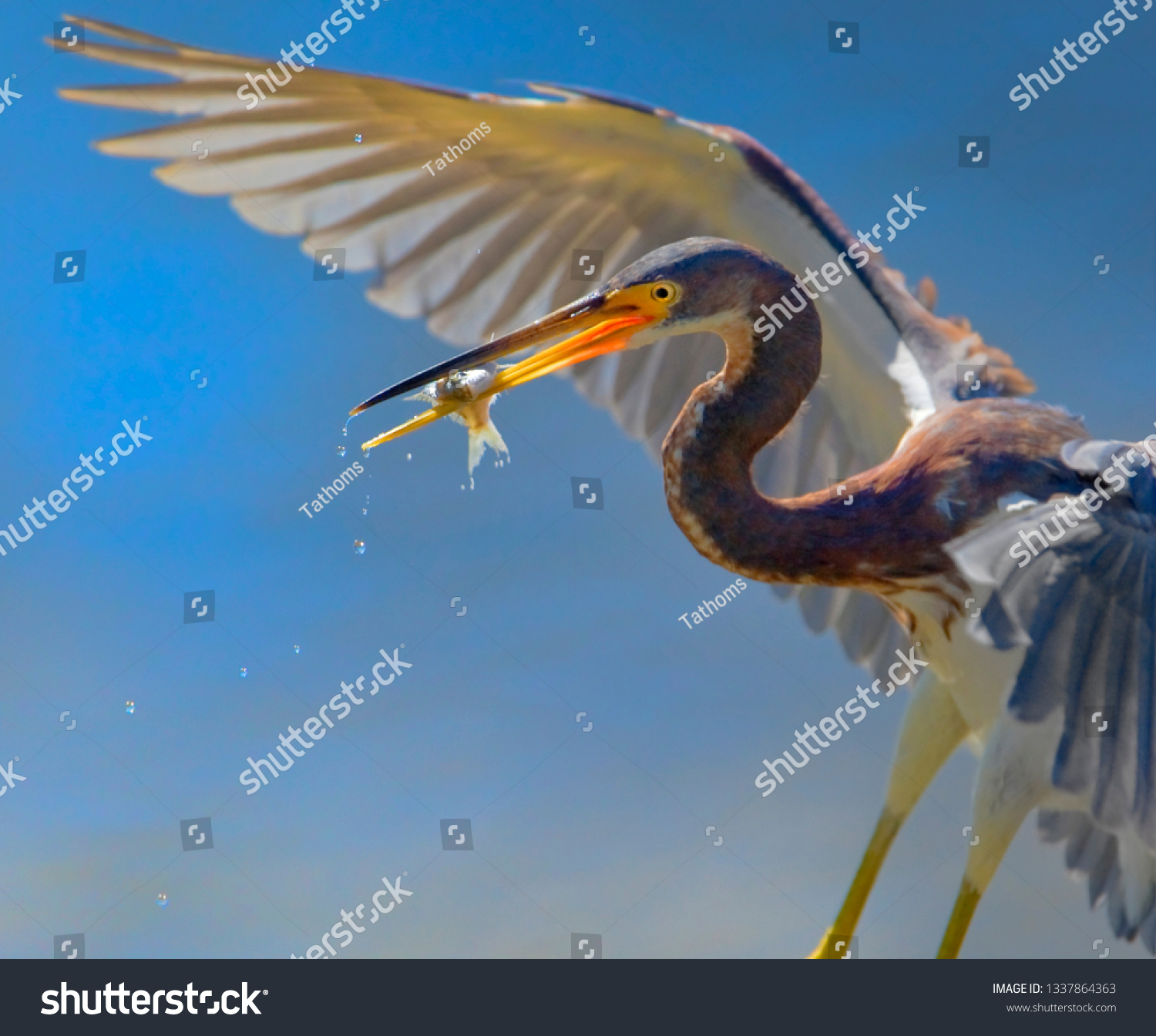 Tri-colored heron with catch, close up.Focus on catch and water drops. Latin name - Egretta tricolor.