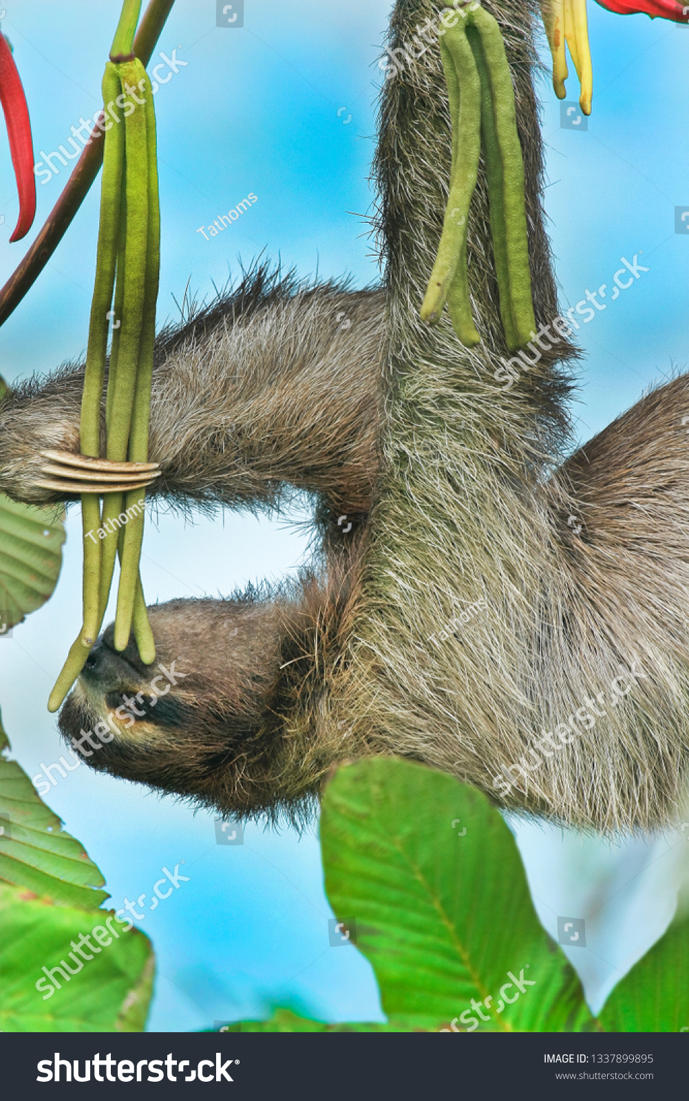 Brown-throated three-toed sloth feeding in the wild naging above ocean; Latin name - Bradypus Variegatus