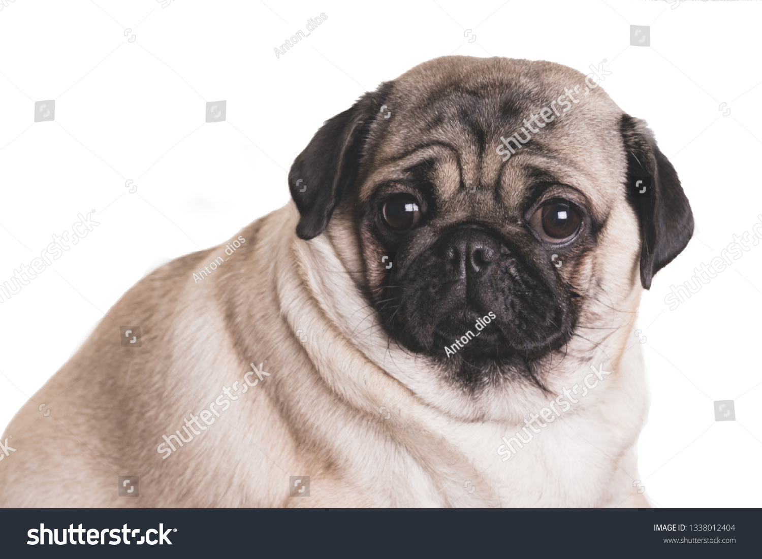 Funny Pug Puppy On White Background Stock Photo Edit Now 1338012404