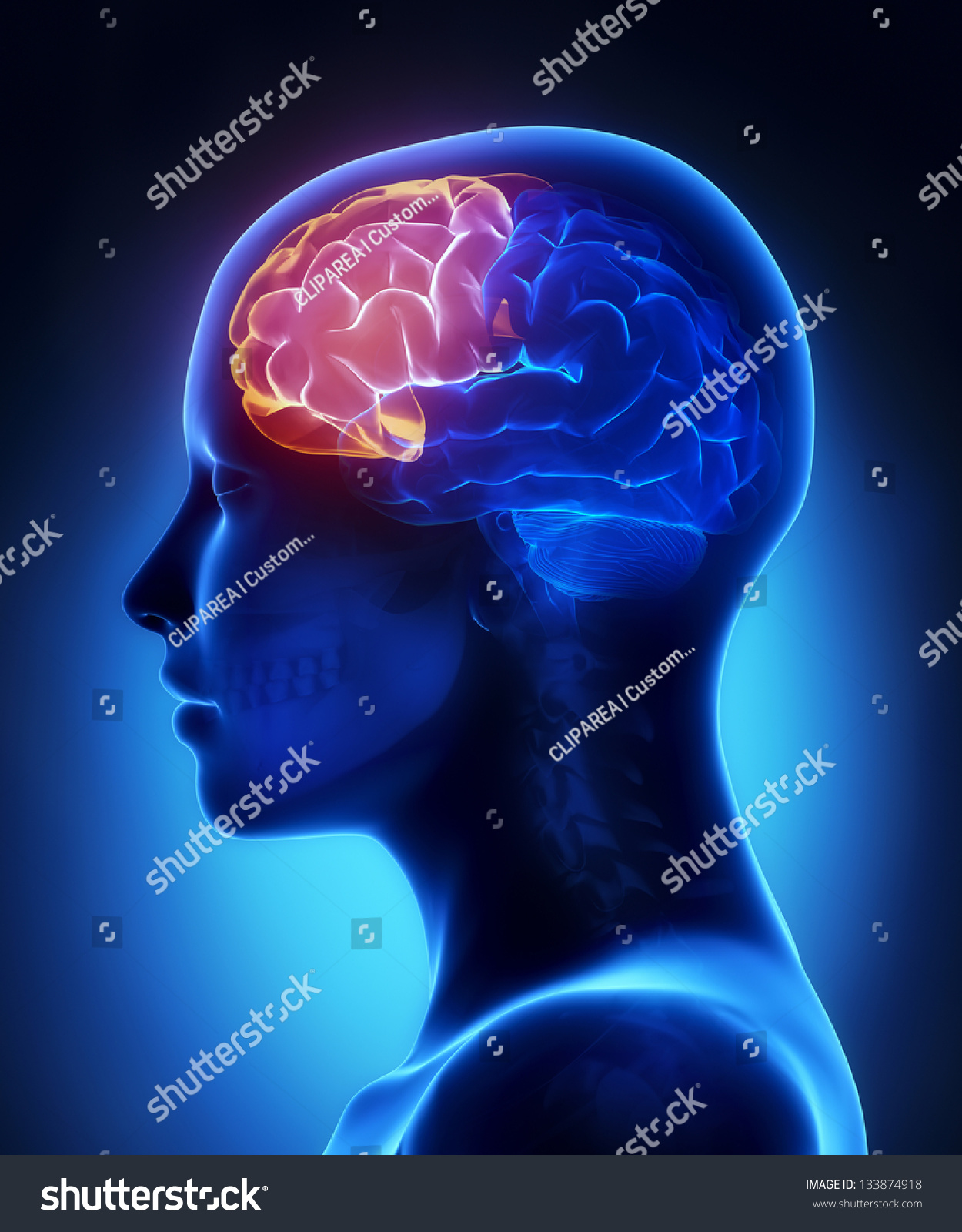 Frontal Lobe Female Brain Anatomy Lateral Stock Illustration ...