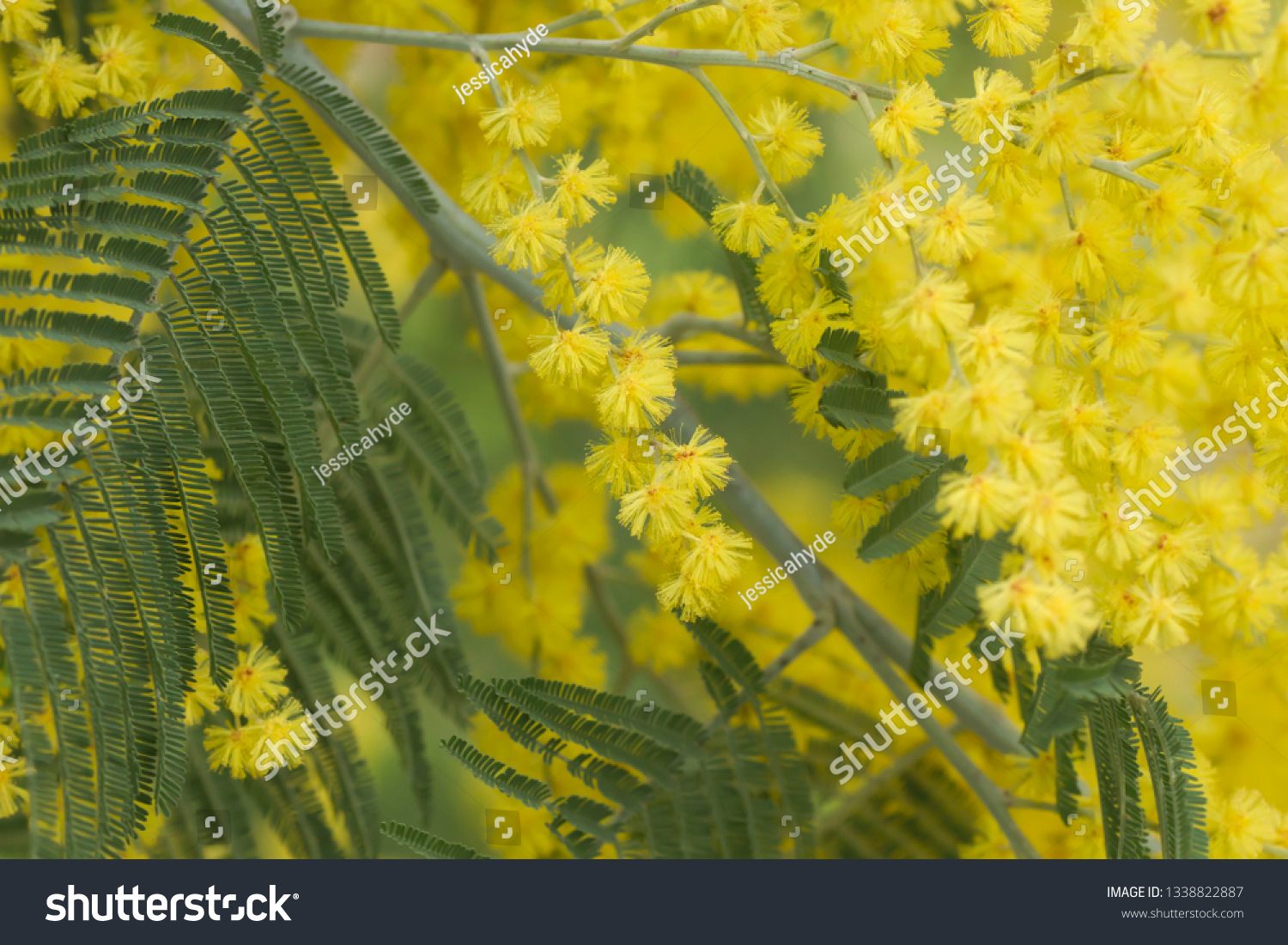 Detail Flowering Acacia Dealbata Silver Wattle Stock Photo Edit Now