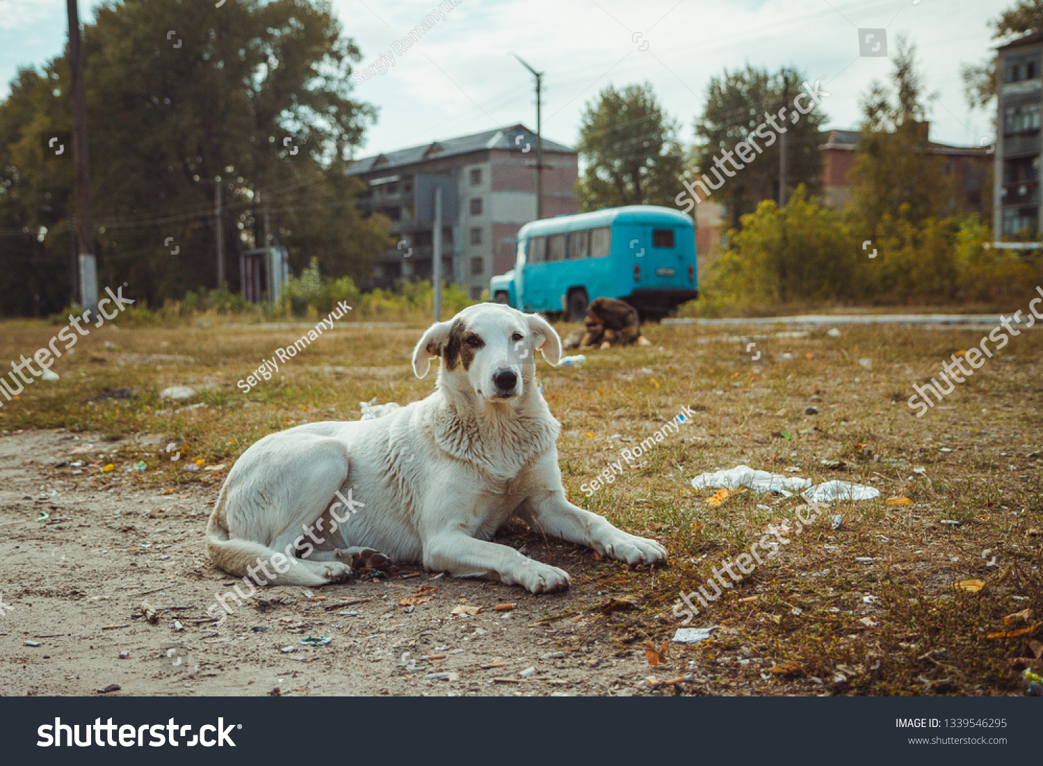 Homeless wild dog in old radioactive zone in Pripyat city - abandoned ghost town after nuclear disaster. Chernobyl exclusion zone. #1339546295