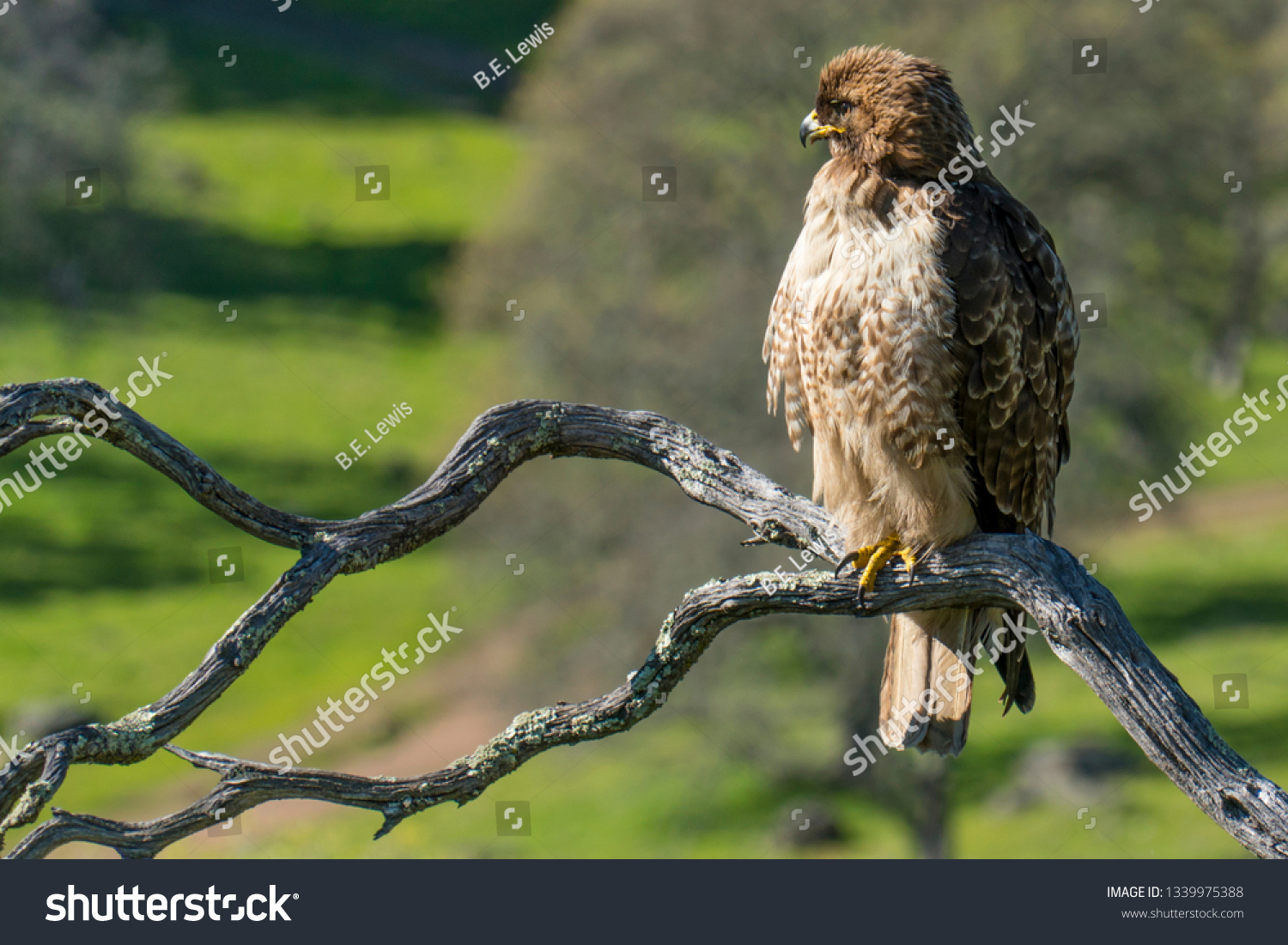 Red Tailed Hawk Sitting On Dead Stock Photo Edit Now 1339975388
