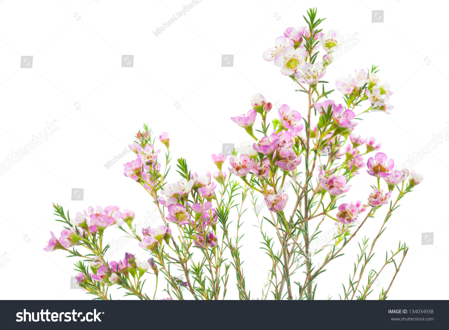 Closeup Of Waxflower Plant Isolated On White Background Ez Canvas