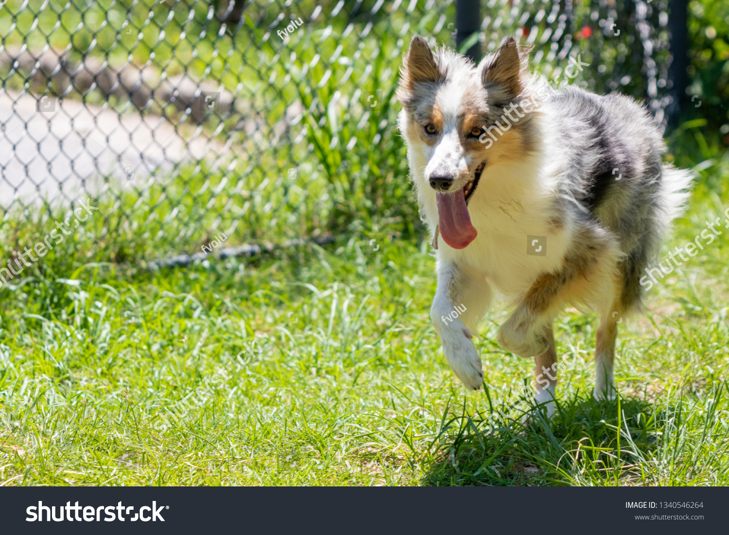 stock-photo-gray-and-white-border-collie