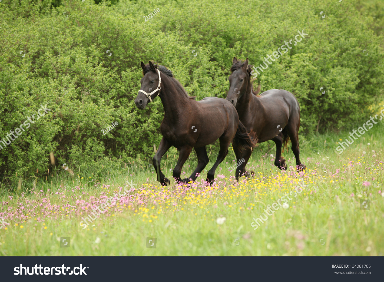 HD Animals Wallpapers: Friesian Black Running Horse Wallpaper |Friesian Horses Running