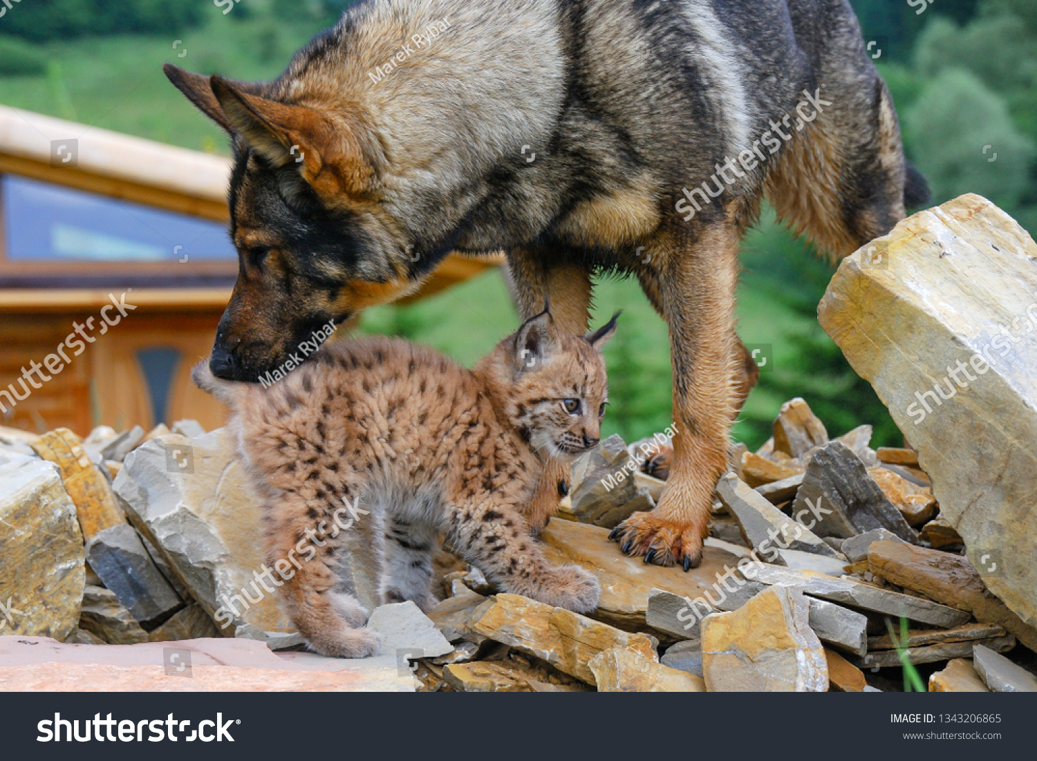 Wild Eurasian lynx (Lynx lynx) in its natural environment deep in the forests raised by german shepherd dog. Cub exploring surrounding habitat. Spring day. Cub preparing to release to wild. Slovakia.