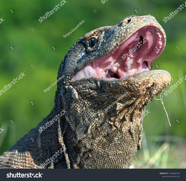 Open Mouth Komodo Dragon Close Portrait Stock Photo Edit Now 1343482769